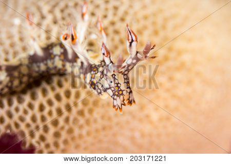 Bornella Anguilla, Nudibranch, Sea Slug