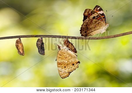 Transformation Of Blue Pansy Butterfly ( Junonia Orithya Linnaeus ) On Twig