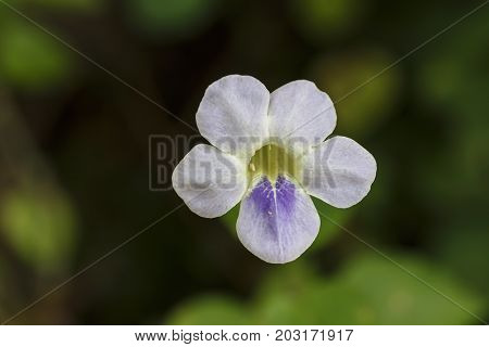 White Creeping Foxglove Or Chinese Violet Flower In Garden