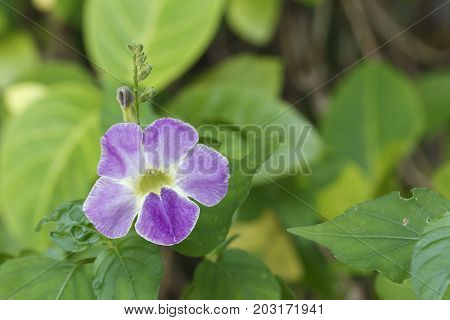 Purple Creeping Foxglove Or Chinese Violet Flower In Garden