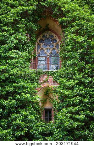 Summer day. Poland the town of Malbrock a Teutonic castle of red brick built from 1309 to 1456. In the frame is a wall made of red brick an old window all covered with green plants. Vertical shot.