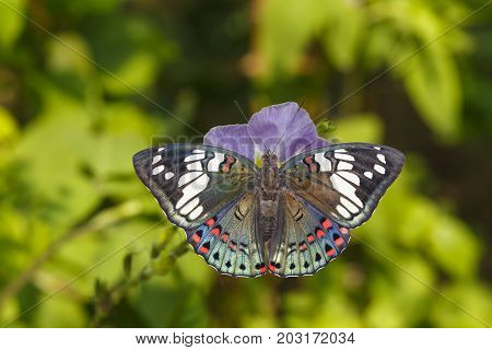 Dorsal View Of Common Gaudy Baron Butterfly ( Euthalia Lubentina ) On Flower