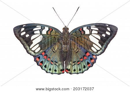 Isolated Dorsal View Of Common Gaudy Baron Butterfly ( Euthalia Lubentina ) On White