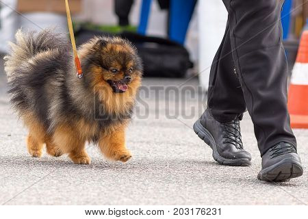 Spitz small dog runs and looks at the owner's shoes. 2018 year of the dog in the eastern calendar Concept: parodist dogs, dog friend of man, true friends, rescuers.