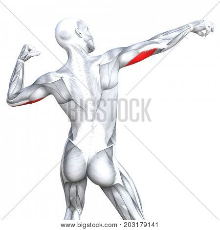 Conceptual 3D illustration triceps fit strong human anatomy anatomical and gym muscle isolated, white background for body health with biological tendons, spine, fitness medical muscular system