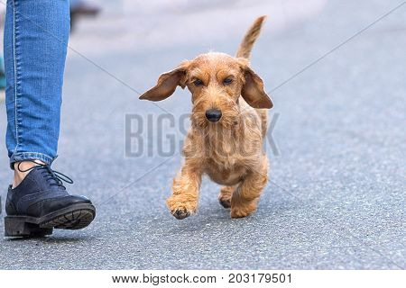 Little Terrier runs next to the owner's boot on the asphalt road. Space under the text. 2018 year of the dog in the eastern calendar Concept: parodist dogs, dog friend of man, true friends, rescuers.