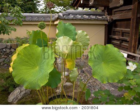 Lotus In A Garden
