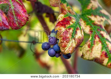 Small bunch of ripe grapes among colorful autumnal leaves in Piedmont, Northern Italy.