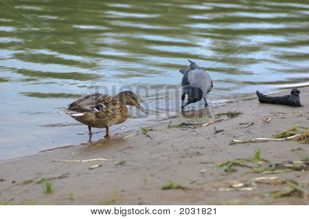 Duck And Clow Are Feeding Together