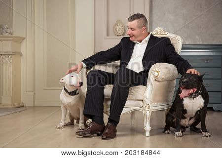 The man dog owner petting two dogs. Black pit bull or staphorshire terrier and white bulterrier are in the vintage interior. Dogs sitting on both sides of the white chair. Studio shoot