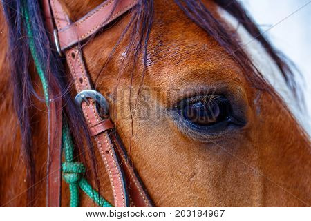 Close Up of a brown horse eye