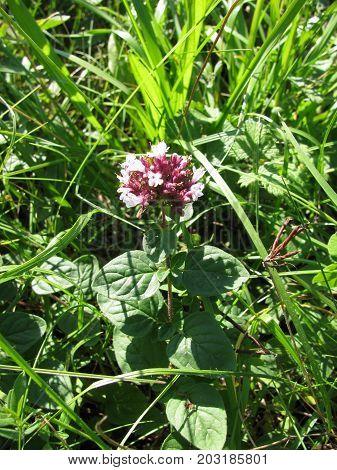 Fresh flowering origanum vulgare plant in a garden