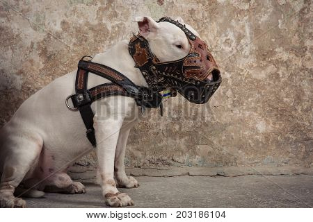 Domestic dog white Bull Terrier breed. Focus on the dog muzzle shallow depth of field. Dog seatting over peeled wall background
