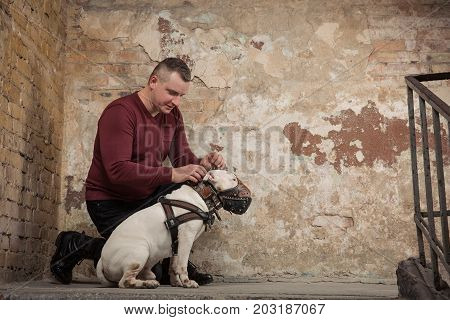 Man button up a dog collar against the background of a peeling wall. Portrait of man and white bull terrier. Studio shoot. Dog trainer