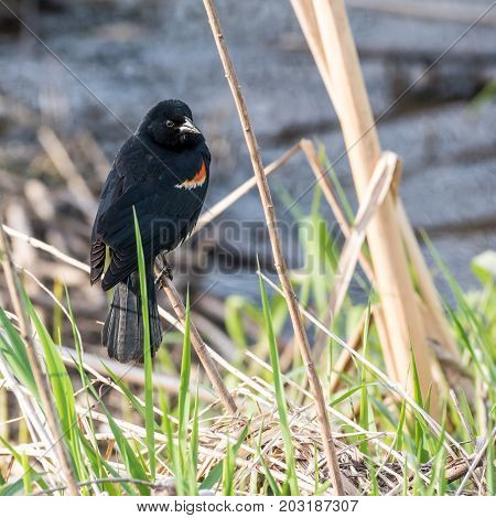 Red-winged Blackbird Perched on Stem in Grass