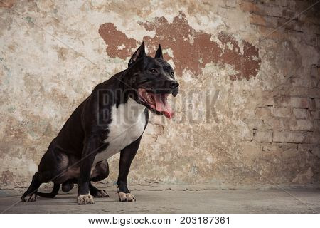 Portrait of Amarican Black pit bull or staphorshire terrier against the background of a peeling wall. Studio shoot