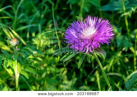 Flower of the whitewash cornflower or Centaurea dealbata