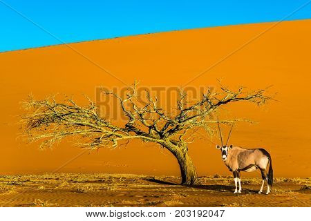 African Oryx gaselle standing at the road. Sunset in the Namib Desert, the oldest in the world. Namibia, South Africa. The concept of extreme and exotic tourism