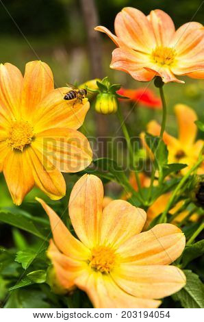 Bee is moving from flower to flower at garden while collecting pollen