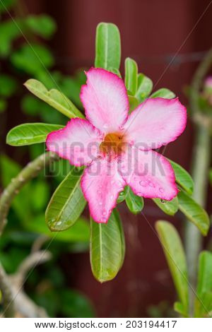 Desert Rose Tropical Flower With Water Drop