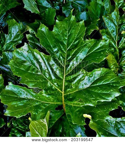 Raindrops on a Glossy Green Acanthus Leaf