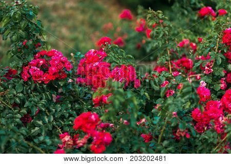 red roses bushes. many small curvy red roses on bushes
