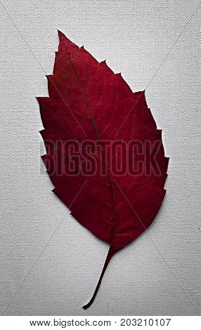 Red leaf tree. Red leaf on a white background. Red leaf tree.