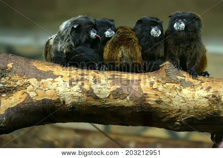 Close up several cute Black-mantled tamarins or Saguinus nigricollis on tr4ee