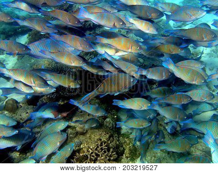 Aggregation of roundhead parrotfishes, Nosy Fanihy, Madagascar