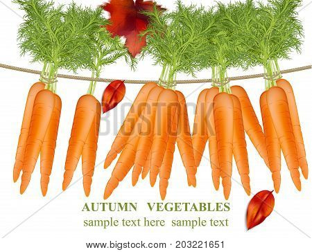 Carrots hanging on a white background. Vector detailed realistic illustration