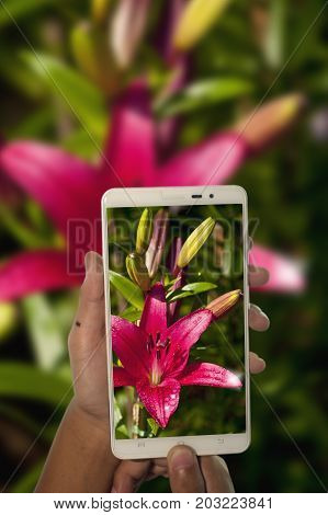 photography pink lilly flower by smart phone