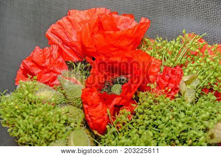 Red Wild Flowers Of Papaver Rhoeas Bouquet, Corn Field Poppy With Buds, Close Up