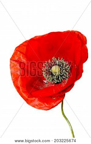 Red Wild Flower Of Papaver Rhoeas Close Up (corn Poppy, Corn Rose, Field Poppy), Isolated On White B