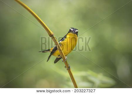Yellow-rumped Flycatcher Ficedula zanthopygia Cute Male Birds of Thailand