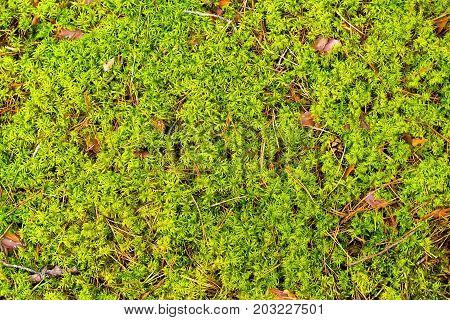 Moss forest, moss green, background, growing moss,the texture of the moss