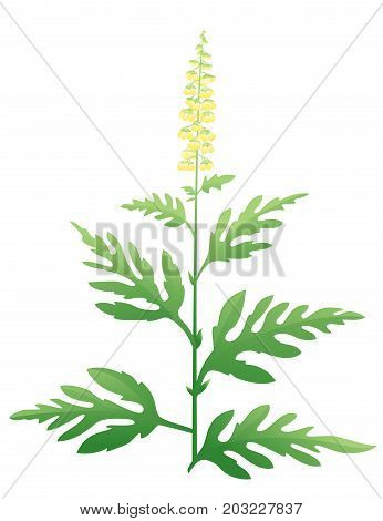 One green ragweed plant with small yellow staminate flowers, dangerous allergen Ambrosia