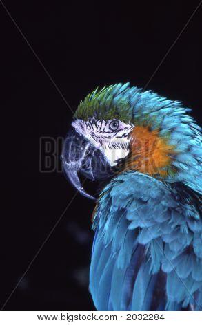 Bluemacaw5