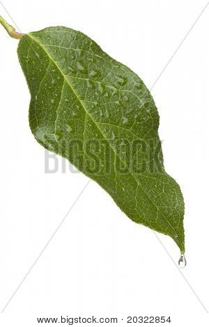Green leaf with moisture and a single water drop on the tip of the leaf isolated on a white background