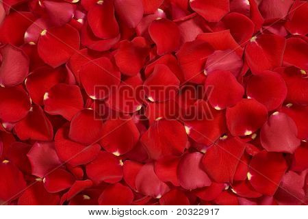 Closeup of bright red rose petals