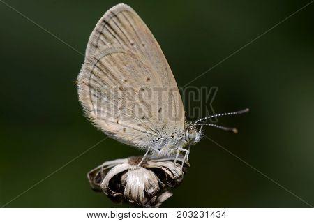 Lesser Grass Blue Zizina Otis Beautiful Butterfly Close-up