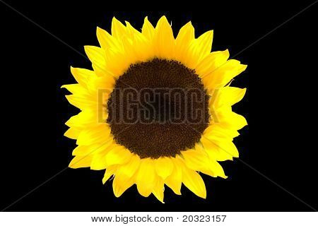 Closeup of a yellow sunflower isolated on a black background