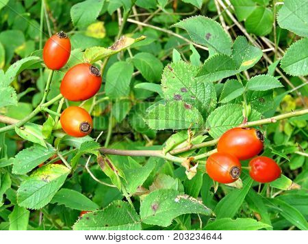 Rosehip in forest of Thornhill Canada September 3 2017