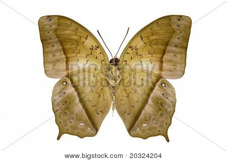 Large Charaxes Fulvescens butterfly from the Nymphalidae family, originating from central Africa
