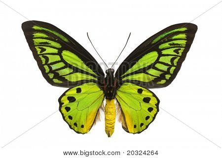 Large emerald birdwing butterfly (O priamus poseidon) originating from the jungles in the Arfak mountains, Indonesia