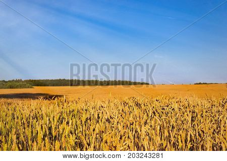 Harvesting Wheat Ears. Field Of Agricultural Farm