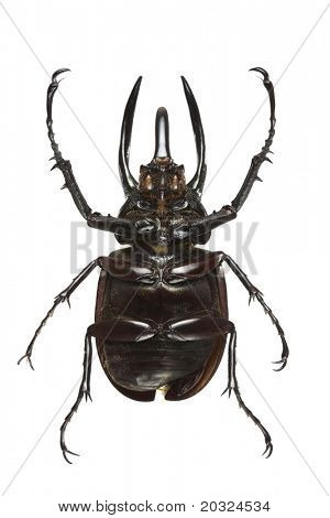 Bottom view of a Rhinoceros Beetle (Chalcosoma caucasus var) from the Dynastidae family originating from Indonesia poster