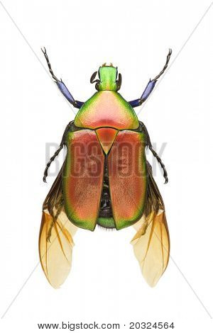 poster of Top view of a colorful flower beetle (Torynorrhina flammea crimsoni) from the Cetonidae family originating from Thailand