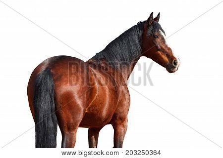Portrait of Bay horse on a white background.