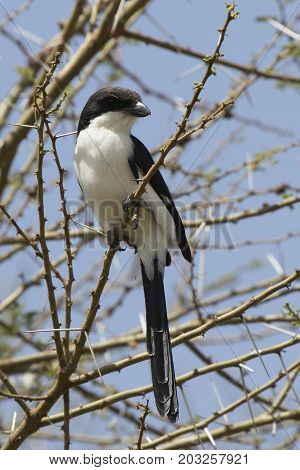 Long-tailed fiscal sits on a branch with thorns on a bright sunny day