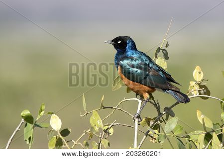 Superb starling sits on a branch of a low bush in an oasis in the dry season